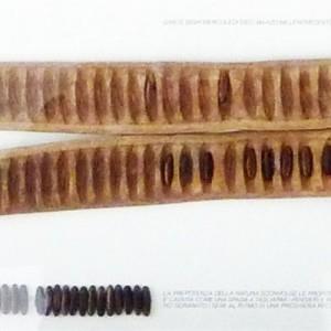 Seme di Birmania